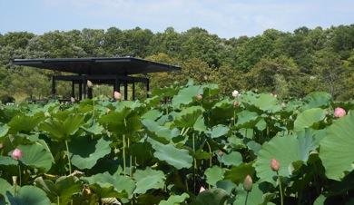 万博公園日本庭園|はす池