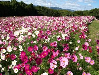コスモスの花畑