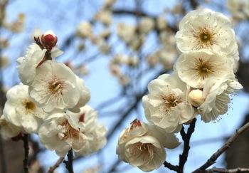 梅 玉牡丹(たまぼたん)