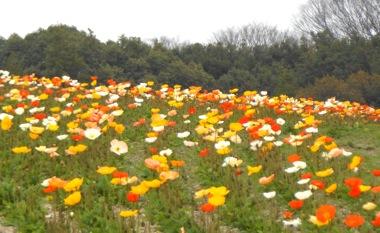 万博記念公園の花の丘のポピー